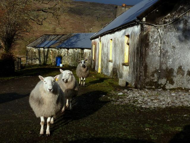 Sheep at Burke's - Meenaguse