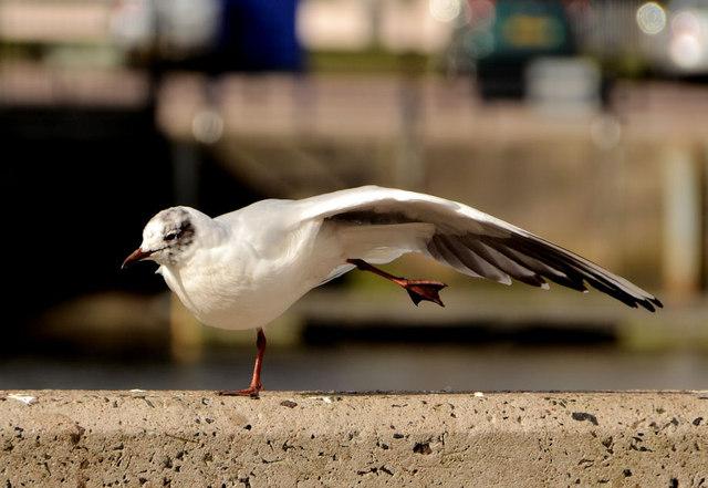 Black-headed gulls, Belfast (2013-4)