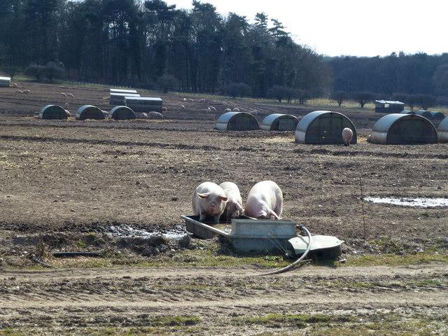 Pig farm in Holkham Park, Norfolk