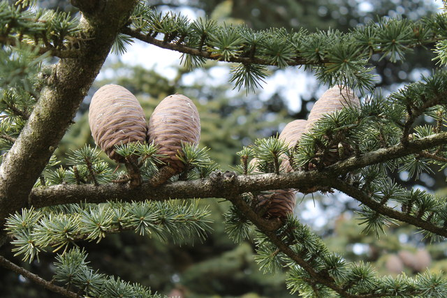 Pine Cones in the grounds of Brodsworth Hall
