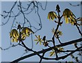 SX9265 : Horse chestnut leaves, Cary Park by Derek Harper