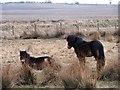 NZ2157 : Exmoor ponies on Burdon Moor by Robert Graham