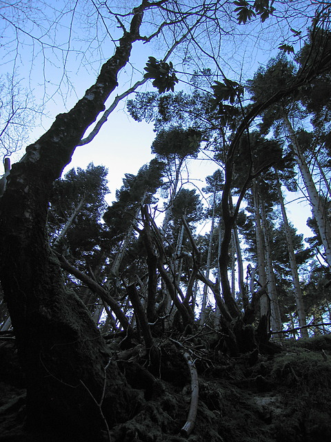Hafod - tall trees in the gorge