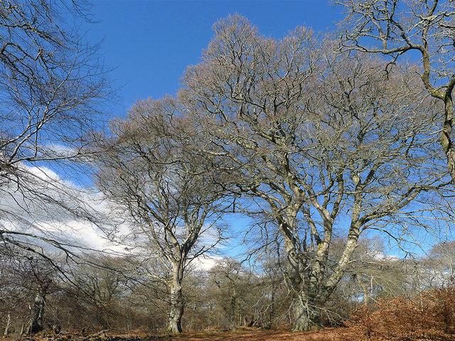 Magnificent Oaks in Drummondreach Wood