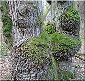 NH5857 : An oak tree of the oak wood by Julian Paren