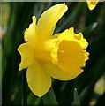 J4774 : Daffodil, Kiltonga, Newtownards (2) by Albert Bridge
