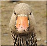 J4774 : Greylag geese, Kiltonga, Newtownards (8) by Albert Bridge