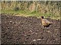 H4969 : Cock pheasant, Camowen by Kenneth  Allen