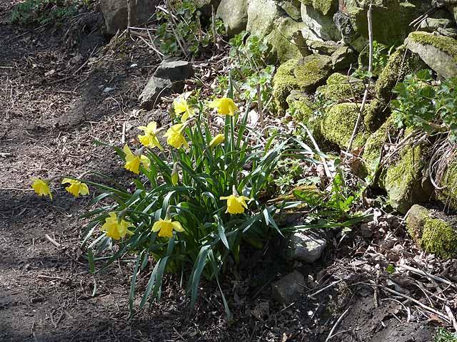 Daffodils at Wylam