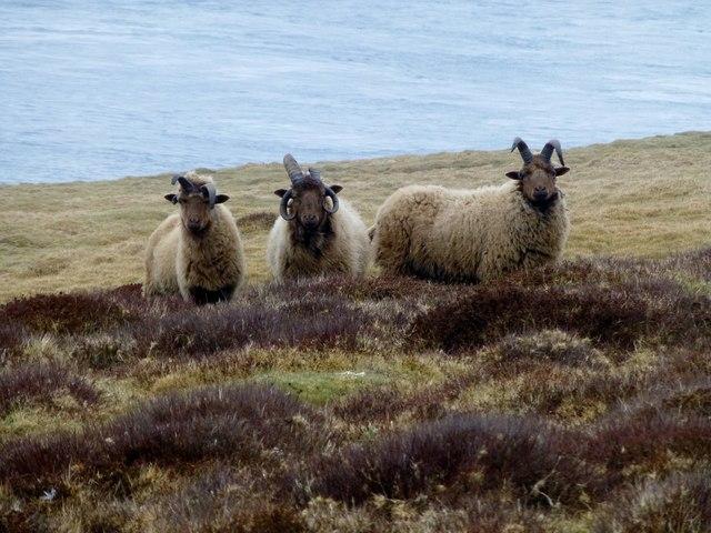 Manx Loaghtan Three Rams