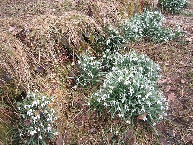 Snowdrops, Birnam