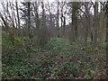 SO6928 : Wild daffodils in woodland near Four Oaks by David Smith