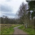 SK6276 : Birches beside a path by David Lally
