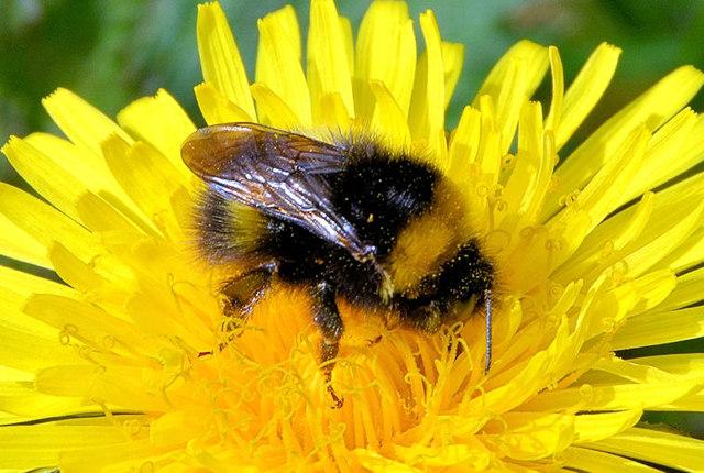 Bee and dandelion, Helen's Bay