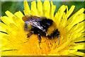 J4582 : Bee and dandelion, Helen's Bay by Albert Bridge