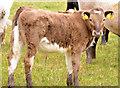 J3370 : Cattle, Lagan Meadows, Belfast (2) by Albert Bridge