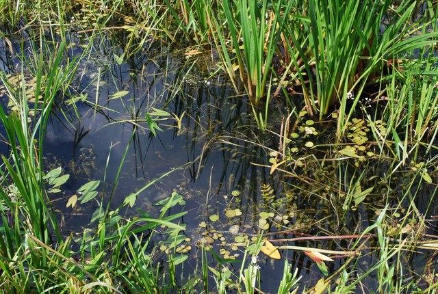 Wetland plants