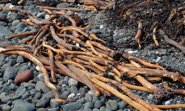 Seaweed, Whitehead (2013-1)