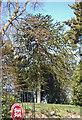 TQ8413 : Monkey Puzzle Tree, Off Winchelsea Road by Julian P Guffogg