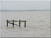 SJ3681 : Dolphin in the Mersey estuary by Christine Johnstone