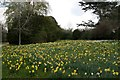 SP4415 : Daffodils in Blenheim Palace Estate by Graham Hogg