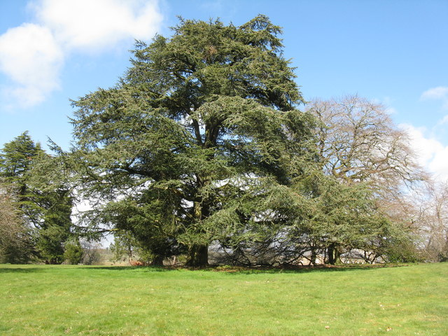 Cedar at Dumfries House
