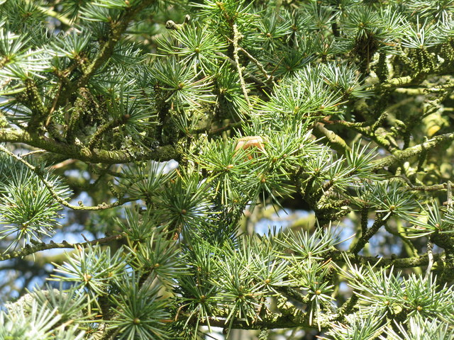 Cedar at Dumfries House - close up of foliage