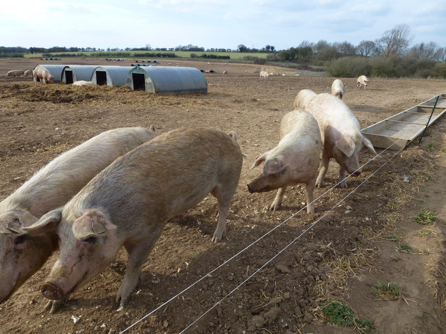 Happy pigs in Norfolk
