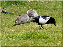 SJ9594 : A squirrel and a magpie by Gerald England