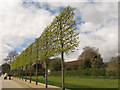 TQ5074 : Hall Place, pleached trees by Stephen Craven