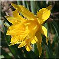 NJ7254 : Wild Daffodil? by Anne Burgess