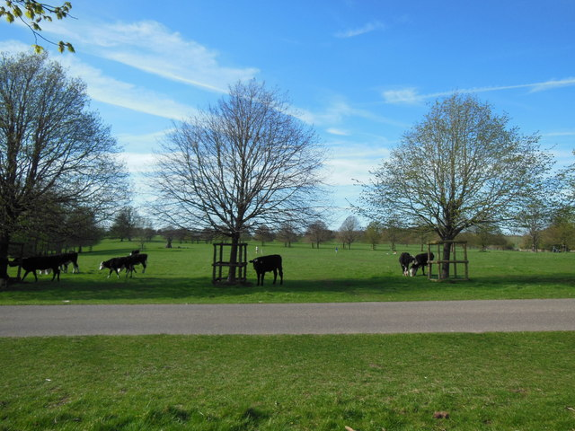 Cattle by the drive, Dyrham Park