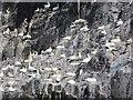 NT6087 : Gannets on the Bass Rock by Richard Webb