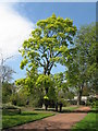 NT2475 : Corstorphine Sycamore in the Royal Botanic Garden Edinburgh by M J Richardson