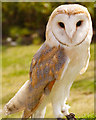 SD5705 : Barn Owl by David Dixon