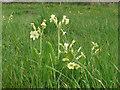 TL6730 : Oxlip in Piper's Meadow, Great Bardfield by Roger Jones