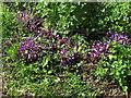 TL9721 : Purple Toothwort, Roman River Valley Nature Reserve by Roger Jones