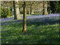 TQ3331 : Wakehurst Place: Bluebell woods by Alan Hunt