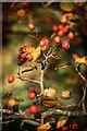 SU5598 : Berries in the Arboretum by Des Blenkinsopp