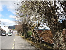 J0115 : Polled trees in Main Street, Forkhill by Eric Jones