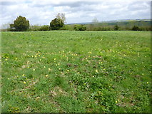 SU1420 : Breamore, cowslips by Mike Faherty