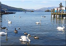 SD4096 : Swans and Ducks on Windermere by Mike Smith