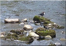 NY6565 : A dipper in the Tipalt Burn, Greenhead by Karl and Ali