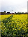 TL0536 : Footpath through the yellow field by Philip Jeffrey