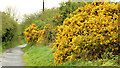 J1264 : Whin bushes near Aghalee by Albert Bridge