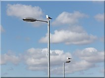 NS5565 : Lesser black-backed gulls on lamp-posts by Barbara Carr