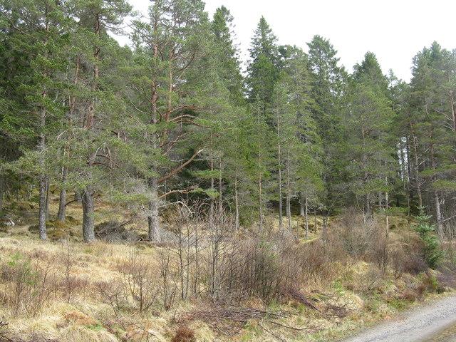 Inchbae Wood