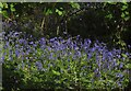 TQ3870 : Bluebells, Beckenham Place Park by Derek Harper
