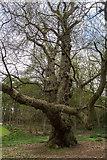 TL7835 : Old Tree, Castle Hedingham, Colne Valley, Essex by Christine Matthews