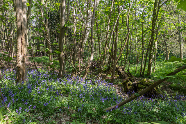 Bluebell Wood, Castle Hedingham, Colne Valley, Essex